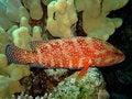 Free Redfish Royalty Free Stock Images - 10157269