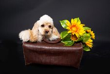 Free Cocker Puppy And Sunflower Royalty Free Stock Image - 10150206