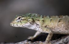 Free Lizard In Wild Stock Images - 10150224