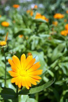 Free A Sunny Orange Marigold Flower Royalty Free Stock Photo - 10151205