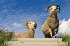 Sheep On Top Of The Dike Stock Image