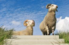 Sheep On Top Of The Dike Royalty Free Stock Photography
