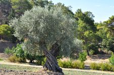 Free Olive Tree Royalty Free Stock Photography - 10154277