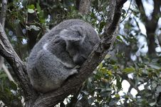 Koala 4 Royalty Free Stock Photography