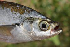 Free Fish Close-up Royalty Free Stock Photo - 10156635