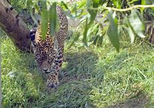 Free Jaguar Stock Photos - 10156653