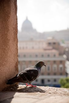 Pigeon Resting With Vatican In The Background Royalty Free Stock Images