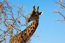 Free Female Giraffe Eating Bush On Sky Background Stock Images - 10159724
