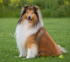 Free Rough Collie Dog Royalty Free Stock Photo - 101539965