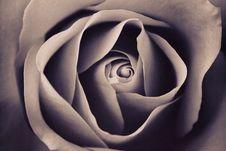 Free Flower, Rose Family, Rose, Petal Royalty Free Stock Photo - 101599855