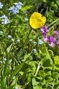 Free Yellow Sunny Tulip Stock Image - 10161961
