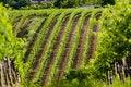 Free Vineyards Royalty Free Stock Photography - 10162297