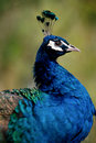 Free Peacock Stock Images - 10167174