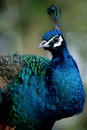 Free Peacock Royalty Free Stock Images - 10167199