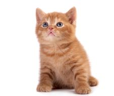 Free Red  Kitten Royalty Free Stock Photos - 10160998