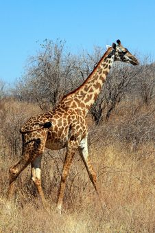 Free Giraffe In Bushy Savanna Royalty Free Stock Image - 10161296