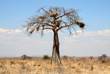 Thin Baobab Tree With Big Nests In African Savanna Stock Photo