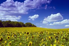 Free Sunflower Field Stock Photo - 10162240