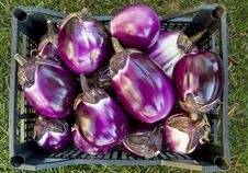 Free Eggplant Stock Photography - 10163372