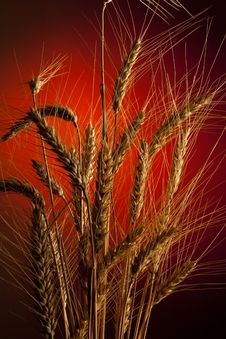 Free Wheat Royalty Free Stock Photo - 10165505