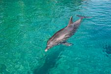 Bottlenose Dolphin In A Green Sea Royalty Free Stock Image