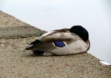 Free Sleeping Drake Mallard Stock Photography - 10166282