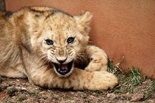 Free Lion Cub Royalty Free Stock Photos - 10167098