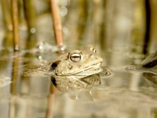 Free Brown Frog In The Forest Pond Royalty Free Stock Images - 10167329