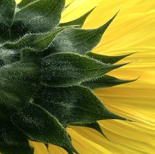 Free Sunflower Close Up Royalty Free Stock Images - 10168209