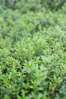 Free Green Sheet Of The Cowberry Stock Images - 10168254
