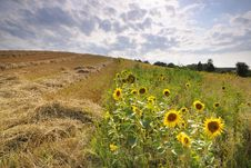 Free Sunset Over The Sunflower Field Royalty Free Stock Images - 10168429