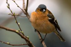 Free Chaffinch Stock Image - 10169881