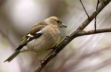 Free Chaffinch Stock Photo - 10169900