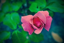 Free Flower, Rose Family, Rose, Pink Stock Photo - 101609900