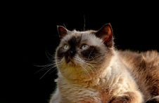 Free Cat, Whiskers, Small To Medium Sized Cats, Cat Like Mammal Royalty Free Stock Photography - 101616677
