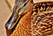 Free Duck, Beak, Bird, Ducks Geese And Swans Royalty Free Stock Photography - 101626467