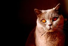Free Cat, Whiskers, Mammal, Small To Medium Sized Cats Royalty Free Stock Image - 101629536