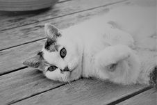 Free Cat, White, Black And White, Whiskers Stock Image - 101632071