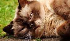 Free Cat, Whiskers, Fauna, Small To Medium Sized Cats Royalty Free Stock Images - 101632149