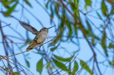 Free Anna S Hummingbird Royalty Free Stock Images - 101663919