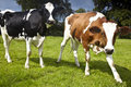 Free Cows On A Meadow Stock Images - 10170734