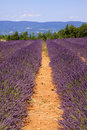 Free Rows Of Lavender Royalty Free Stock Images - 10177249