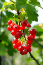 Free Cluster Red Currant Royalty Free Stock Images - 10179849