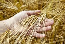 Free Wheat Field Royalty Free Stock Photography - 10170217