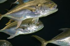 Free Silver Fish Stock Images - 10171114