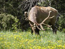 Free Bull Elk Grazing Stock Image - 10172821
