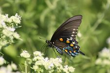 Free Tiger Swallowtail Stock Photography - 10173012