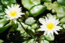 Free White Water Lilies Royalty Free Stock Photography - 10173317