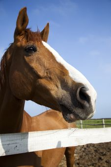 Free Horse Head Of Brown Horse Royalty Free Stock Photography - 10175307