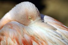 Free Sleeping Flamingo Royalty Free Stock Photos - 10175488
